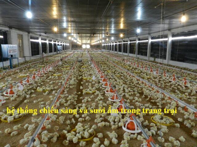 hệ thống chiếu sáng và sưởi ẩm trong các trang trại chăn nuôi